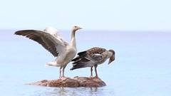 Young greylag gooses on a rock. (Anser anser) (Sirke Vaarma) Tags: anser merihanhi hanhi goose sea meri bird lintu