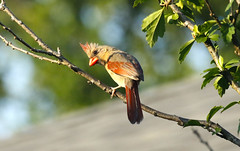 Northern Cardinal (female) (wvsawwhet) Tags: westvirginia wv westvirginiabirds bird birding birds birdwatching birdsofwestvirginia cardinal northerncardinal fairmont marioncounty
