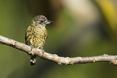 Bar-breasted Piculet (Pica-pau-ano-dourado) (Fabio Rage) Tags: bar breasted piculet pica pau ano dourado picumnus aurifrons
