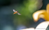 Anflug! (Natur.Licht.Farben.) Tags: bokeh flowers nature flower naturlichtfarben wwwnaturlichtfarbende flowerfly schwebfliege animal garden grün summer macro bee gardening fly garten gelb green photosynthese hoverfly syrphidfly syrphusfly