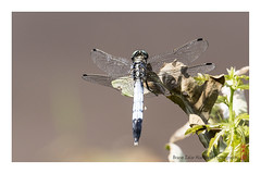 dragonfly (alamond) Tags: dragonfly odonata anisoptera wings canon 7d markii mkii llens ef 70300 f456 l is usm alamond brane zalar