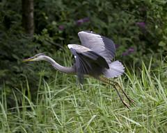 Heron - EXPLORED (JSR-Photography) Tags: forestfarm forest farm heron bird flight explored