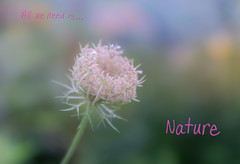 Beautiful Nature (JMS2) Tags: wildflower bud summer nature bokeh delicate plant grow outdoor sony lace