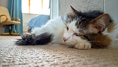 Landing Lounging (Tilly the 3-legged cat) (Olympus OM-D EM5II & Lumix 12-32mm Pancake Zoom) (1 of 1) (markdbaynham) Tags: tilly 3legged cat pet cute lumix 1232mm pancake zoom olympus feline omd em5 em5ii csc evil mirrorless lumixer oly mft m43 m43rd micro43 micro43rd