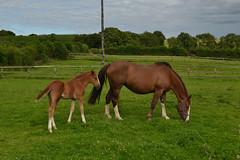 Horses (Hachimaki123) Tags: animal caballo horse mammal mamífero horses caballos