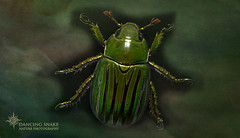 _O6A6849 Jewel scarab beetle ©Dancing Snake Nature Photography (Dancing Snake Nature Photography) Tags: arizona nature photography dancingsnakenaturephotography insects jewelbeetle maderacanyon chrysinagloriosa