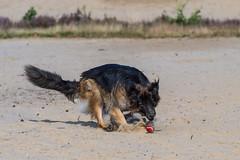 _DMC4113 (duncen.mcleod) Tags: 70200f28 d4 dieranimaltierhuisdierhaustierpet shepherd dog sheepdog germanshepherddog oudduisteherdershond oudduitseherdershondlangstokhaar altdeutschenschferhunde schferhunde reu rden hund sand bakkeveen zand germanshepherdlongcoat hond honden nikkor nikkon herdershond germanshepherd bal ball apporteren retrieve max fetch