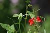 Punased õied (Jaan Keinaste) Tags: pentax k3 pentaxk3 eesti estonia loodus nature lill flower punane red