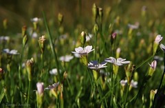Saxifrage cushion (Saxifraga.sp.) (andraszambo) Tags: saxifrage saxifraga saxifragaceae cushion macro plant flower wildflower blumen pflanz kőtörőfű növény virág vadvirág párna makró makrófotó
