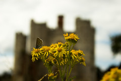 This is my castle!  (Shutter Chimp: Im back!) Tags: butterfly   flower insect   england