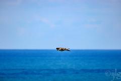 18092016DSC_1132.jpg (Ignacio Javier ( Nacho)) Tags: facebook gaviotas aves flickr pginafotografia faunayflora santander cantabria espaa es