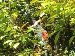 """Le Parc des Oiseaux d'Iguaçu: une 3e sorte de toucan. <a style=""""margin-left:10px; font-size:0.8em;"""" href=""""http://www.flickr.com/photos/127723101@N04/29351753400/"""" target=""""_blank"""">@flickr</a>"""