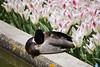 Lekker, zo'n bedje ~ Nice, this bed (Swaentje5) Tags: pink white flower netherlands bulb duck nederland tulip wit eend tulipa keukenhof roze bloem tulp lisse woerd bolgewas