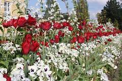 Herrenhuser Grten, Hannover (Pterodactylus69) Tags: flowers germany garden spring pansy violet hannover tulip hanover viola garten frhling tulpe stiefmtterchen frhlingsblumen herrenhusergrten herrenhausengardens schmuckhof