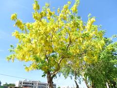 gold tree (oneroadlucky) Tags: plant flower tree nature yellow    cassiafistula
