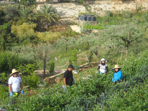 Mohamad and Crew picking Blueberries b May 14, 2015