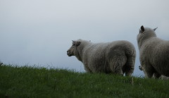 Sheep on a hill (Daniel Menzies) Tags: cloud wool nature grass animal rural sheep hill lamb fujixe1 fujixc50230mm