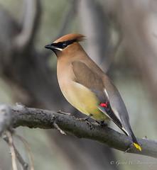 Cedar Waxwing (Turk Images) Tags: birds alberta migration cedarwaxwing brooks bombycillacedrorum bombycillidae cewa lakenewell