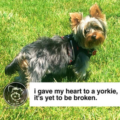 Truth! Click love if you agree. (itsayorkielife) Tags: yorkiememe yorkie yorkshireterrier quote