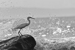 Water Wall (Luis-Gaspar) Tags: animal bird passaro ave garca garcabranca garcabrancapequena egret littleegret egrettagarzetta bw pb mono monochrome monocromatico portugal oeiras nikon d60 55300 f56 14000 iso200