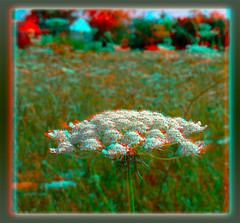 Queen Anne's Lace or Wild Carrot - Anaglyph 3D (DarkOnus) Tags: queen annes lace wild carrot pennsylvania buckscounty huawei mate8 cell phone 3d stereogram stereography stereo darkonus closeup macro weed weeds anaglyph