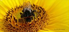 when working... (Harald Steeg) Tags: bumblebee sunflower insect yellow collectingpollen nature fz1000 haraldsteeg