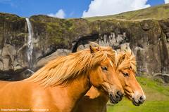 Icelandic Horses (skarpi - www.skarpi.is) Tags: arctic arcticexposure skarpi travel horses phototour photoworksop superjeep supertruck iceland island horse icelandichorse summer