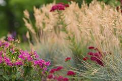 Sweeps of summer's simple hues (d.cobb56) Tags: pink flowers summer plant macro nature grass closeup flora soft dof blossom bokeh newengland petal preety pinkblossoms balmybreeze gentlebreeze sweepsofcolor