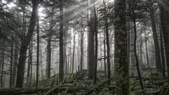 Sun Bathes the Forest, Mt. Mitchell State Park, North Carolina (netbros) Tags: northcarolina deepgaptrail mtmitchellstatepark netbros internetbrothers crepuscularsunrays