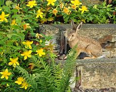 P6270010 Visitor in the garden (sarasocke) Tags: wood rabbit animal yellow furry steps gelb holz fell hase tier stufen stjohnswort johanniskraut