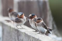 Cliff Swallow (martytdx) Tags: ca july sanfrancisco birding birds swallow cliffswallow petrochelidonpyrrhonota immature petrochelidon hirundinidae donedwardsnwr fremont