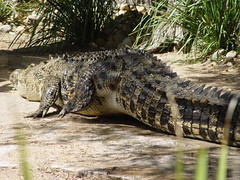 DSC00366 (Paradise Photos) Tags: dreamworldgoldcoast dreamworld tiger tigerisland bengaltiger sumtrantiger crocodile wildlife cockatoo lorikeet kangaroo whitetiger mohan mohanthewhitetiger sonycamera sonycybershot sonyf717 koala easternwaterdragon