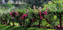 A Rosy Fence (kumherath) Tags: haggala gardens fence friday nuwara eliya sri lanka paradise kumari herath canon roses