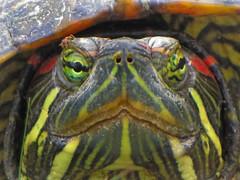 Red Eared Slider turtle - Westland, Michigan (bigjohn1941) Tags: red turtle michigan slider westland eared