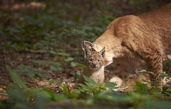 Luchs / Lynx Lynx / Eurasian Lynx (uli@l) Tags: luchs lynx eurasian