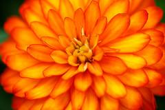 I'd say orange (ranzino) Tags: flowers macro pa longwoodgardens kennettsquare