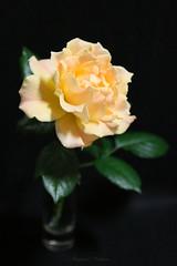 - Flower such as the lamplight (shig.) Tags: flowers roses orange black flower green rose yellow canon eos rosa indoor lamplight  lam roze  plight 70d amberabundance