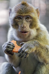 Macaque eating a piece of carrot (Tambako the Jaguar) Tags: carrot eating young holding food macaque barbary primate ape monkey jonskleinefarm kallnach zoo bern switzerland nikon d4