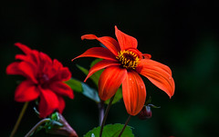 Red dahlia (Steve-h) Tags: natureleza nature natura natur blossom dahlia darkbackground red orange gold yellow green colour colours park ststephensgreen dublin ireland europe ef eos canon camera telephoto zoom lens september 2015 steveh bokeh depthoffield dof