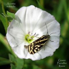 Acontia trabealis (Emmelia) - Rimini - 16.07 (Gianni Porcellini) Tags: farfalla notturna acontia trabealis vilucchione bianco falena rimini
