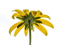 Rudbeckie (Paul Leb) Tags: fleur flower flor rudbeckie rudbeckia doublefantasy