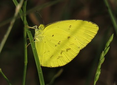 Pieridae (Victor W. Fazio III) Tags: tinonee newsouthwales australia lepidoptera manningvalley pieridae