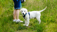 IMG_8546.jpg (Mark Rainbird) Tags: canon charlie dog powershots100 puppy retriever uk ufton uftonnervet england unitedkingdom