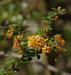 IMGP2692 Bud burst in Darwin's Barberry nectar available soon Zealandia Wellington 20-07-16 (Donald Laing) Tags: new zealand wellington zealandia wildlife sanctuary plants animals 2016 donald laing