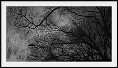 flight (Andrew C Wallace) Tags: flight ir infrared overlay multipleexposure olympusomdem5 microfourthirds m43 tree branches crow bird