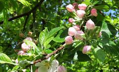Apple blossom buds (DameBoudicca) Tags: sweden sverige schweden suecia sude svezia  flower blossom blomma blte flor fiore fleur  pink rosa rose  lund linero leaves lv bltter hoja feuille foglia  green grn grn vert verde  bud knopp knospe yema bourgeon gemma