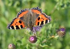 Tortoiseshell, Hedon (cdwpix) Tags: tortoiseshell butterfly hedon