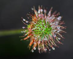 Geum flower head after the rain. (Chris Kilpatrick) Tags: chris canon60d canon macro outdoor flower raindrops garden douglas isleofman nature tamron