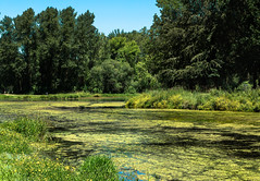 Pond scum (docoverachiever) Tags: pond trees plant oregon algae nature water zygnemataceae landscape green park yellow 3052 flowers