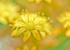 Flowers - yellow (Daniela Parra F.) Tags: flor flores flower flowers garden plants macro details jardin colores colours colors color macroshots microworld yellow
